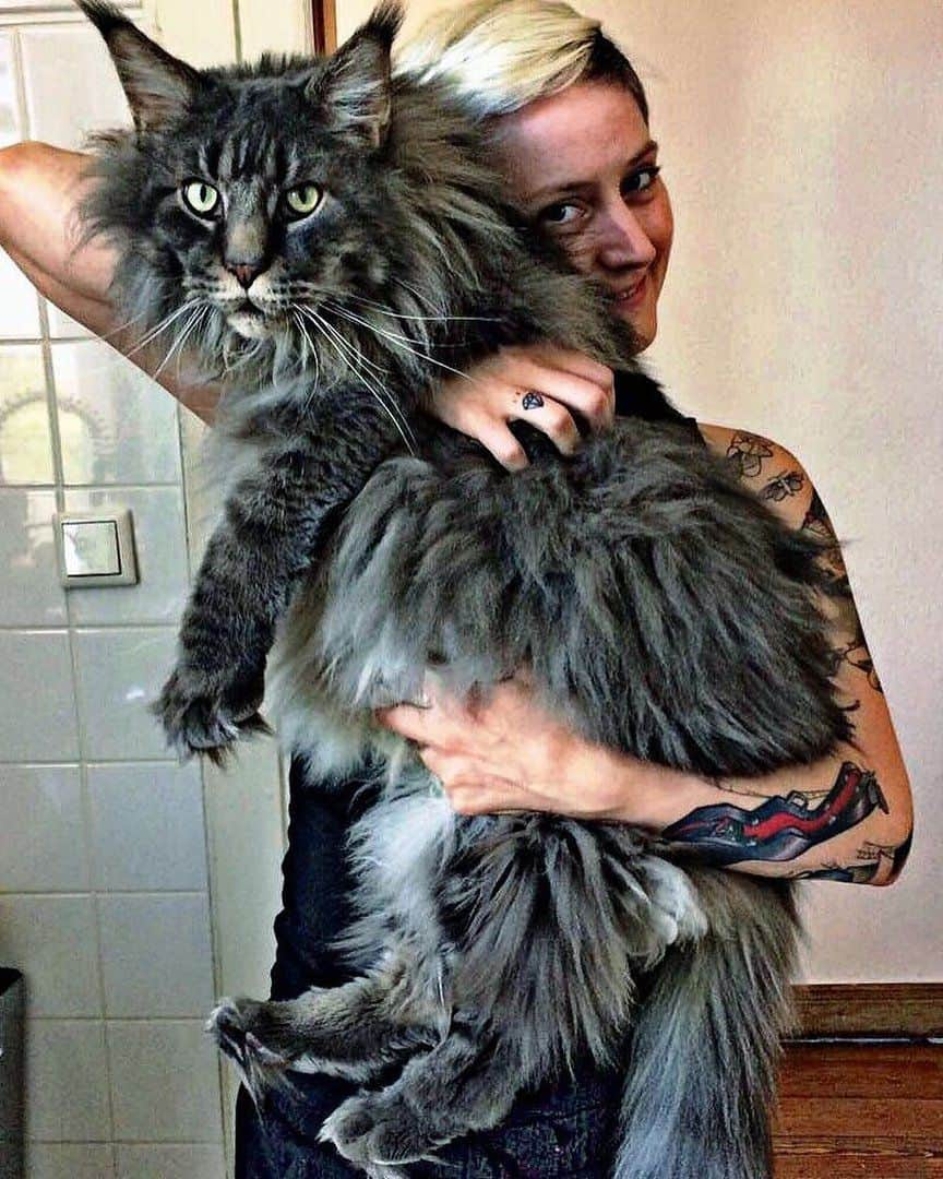 super size maine coon cats