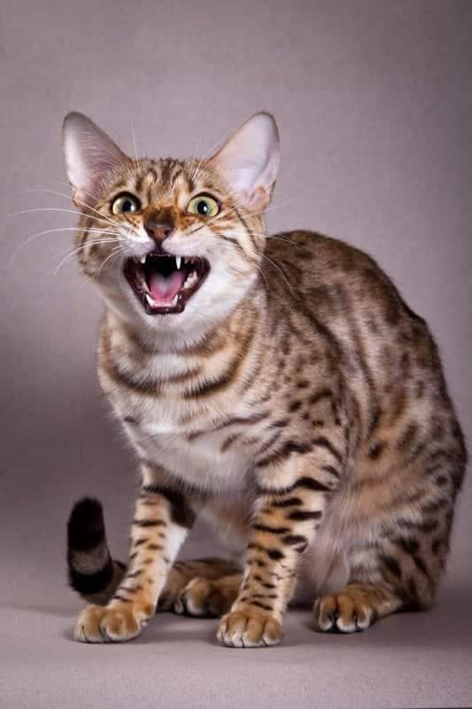 talkative cat breeds
