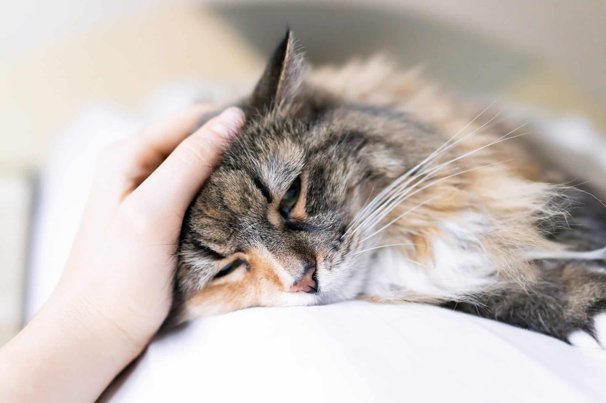 Feline Diabetes: What You Need To Know