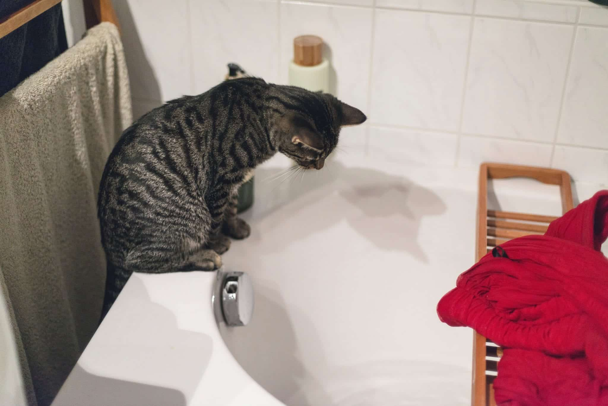 giving your cat a bath