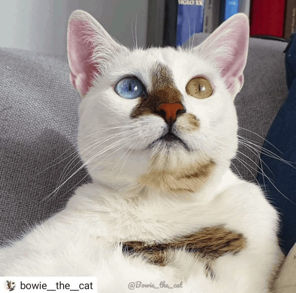 bowie the cat