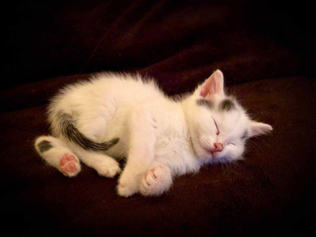 Dobby kitten