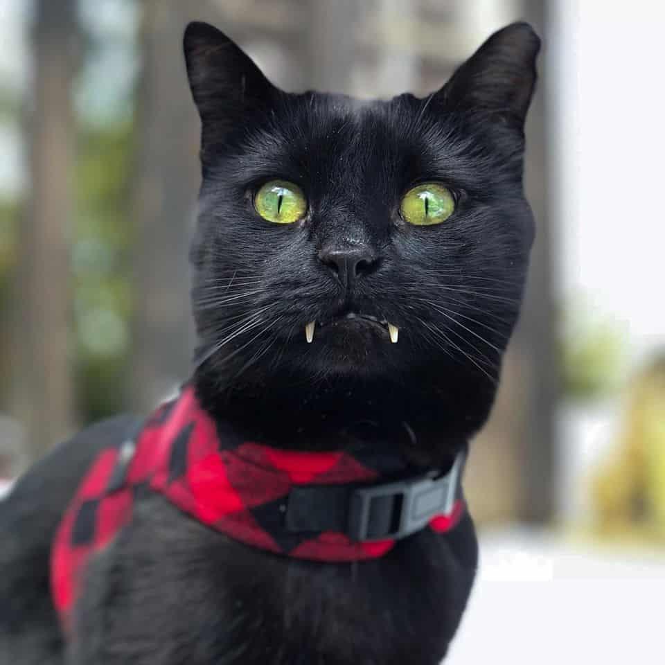 Monk the vampire cat