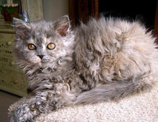 Selkirk Rex Kitten