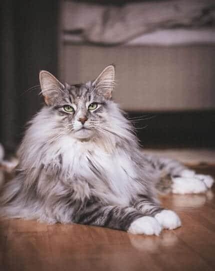 Aslan the cat