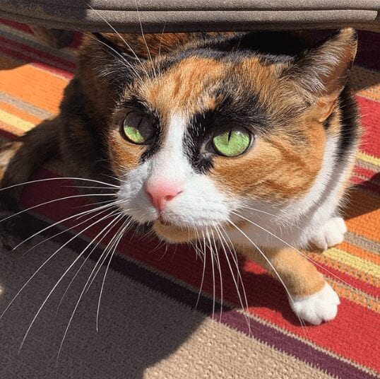 Lilly the eyebrow cat