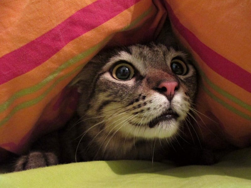 cat pupil's