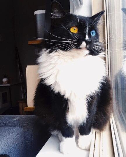 Bowie the Tuxedo Cat