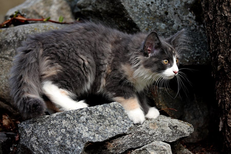 cat breeds that love water