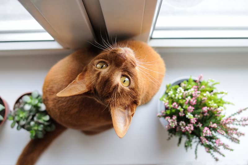 facts about Abyssinian cats