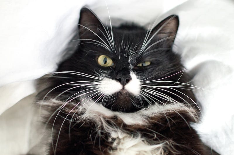 facts about black and white cats