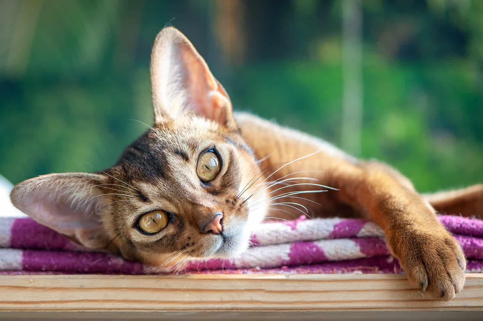 clingy cat breeds