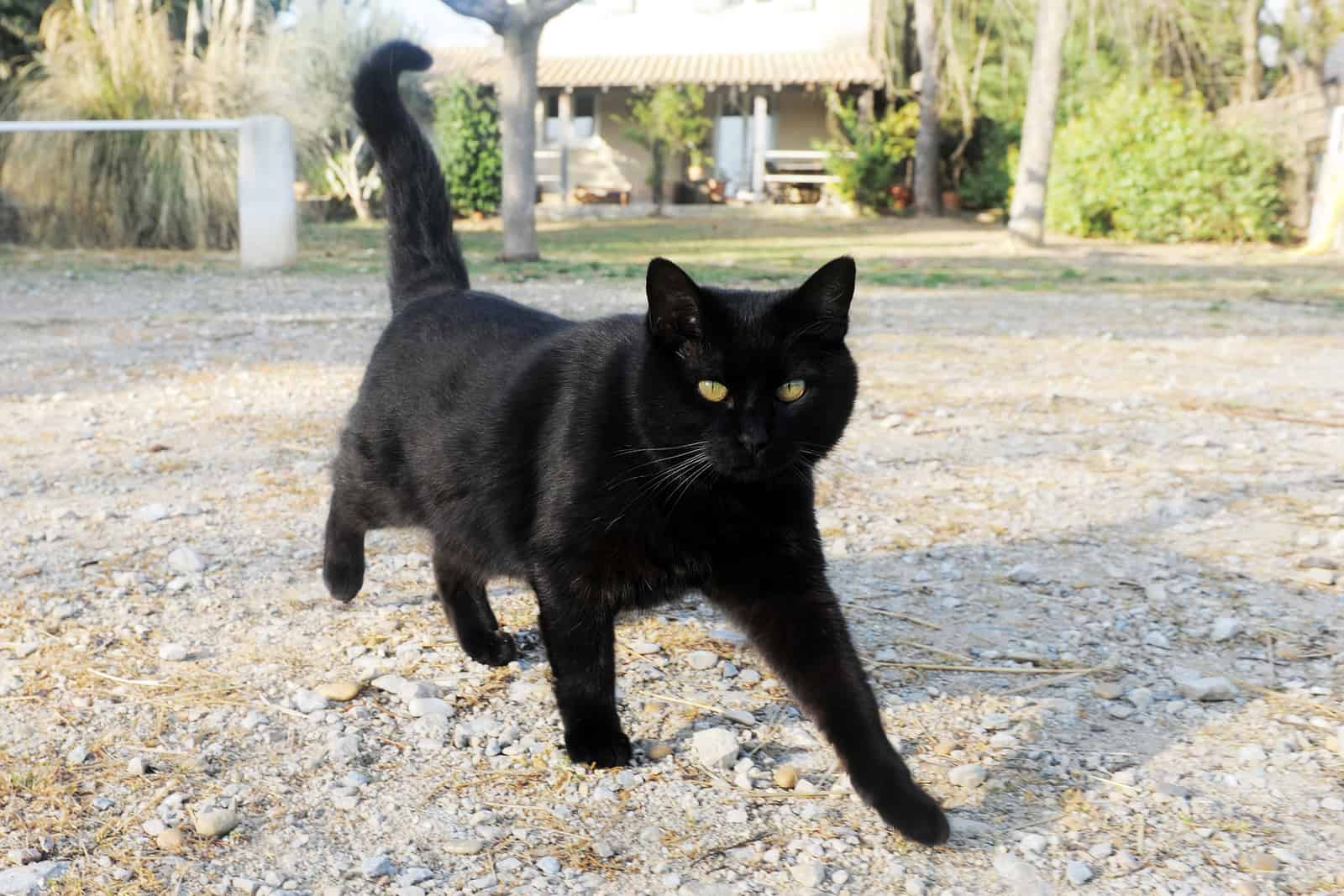 black cats are bad luck?