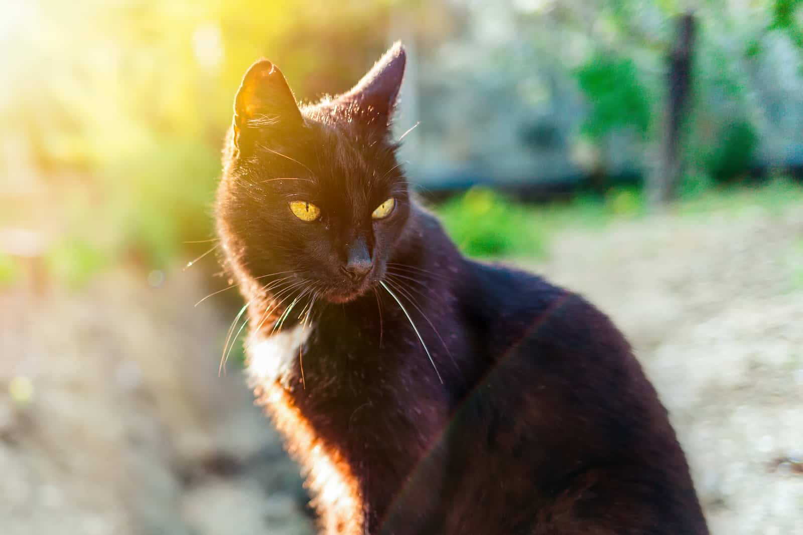 why do black cats rust?