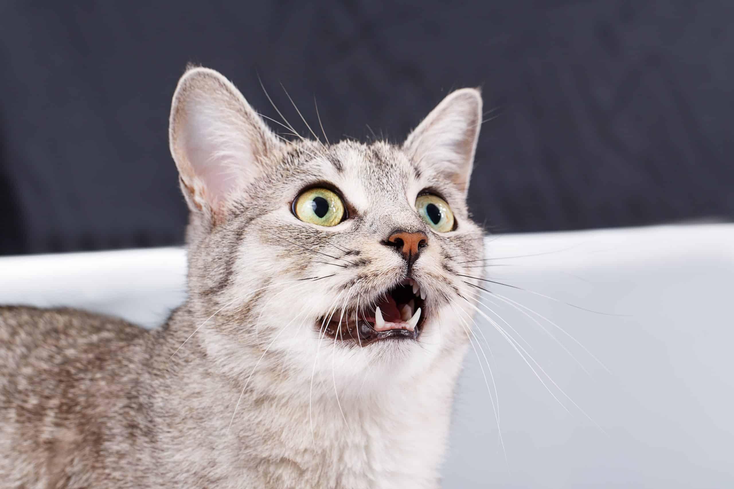 talkative cat