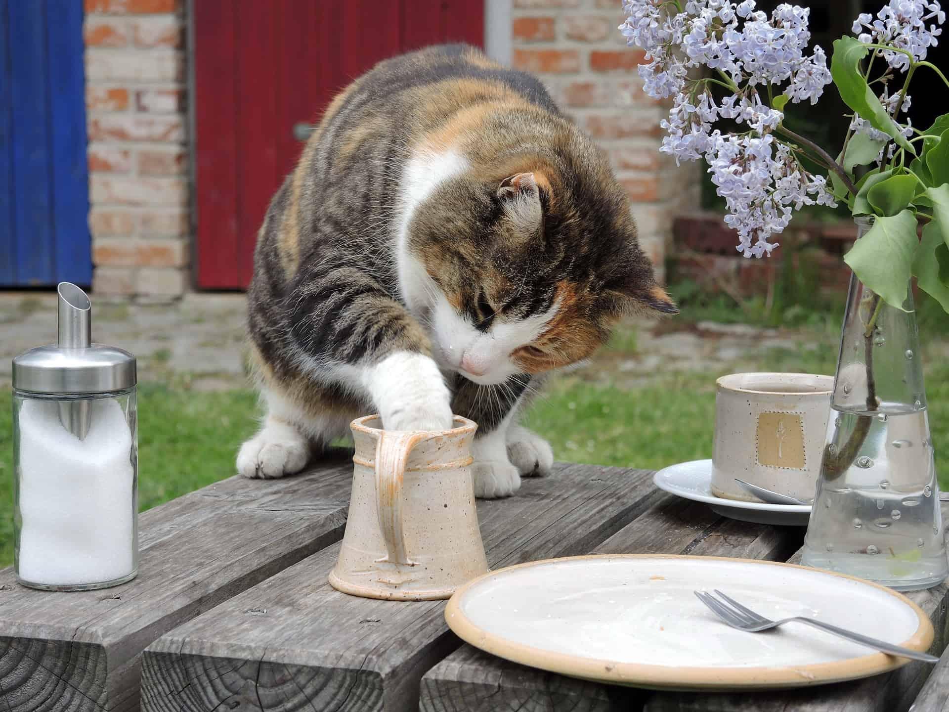 are cats lactose intolerant?