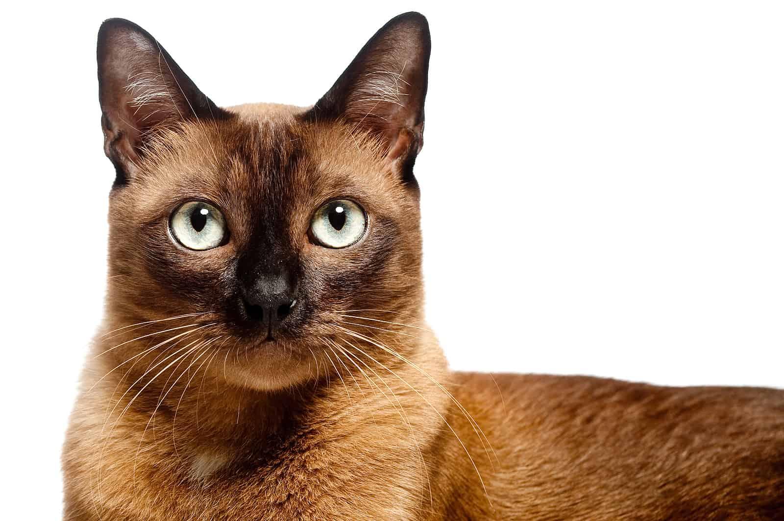 clingiest cat breeds