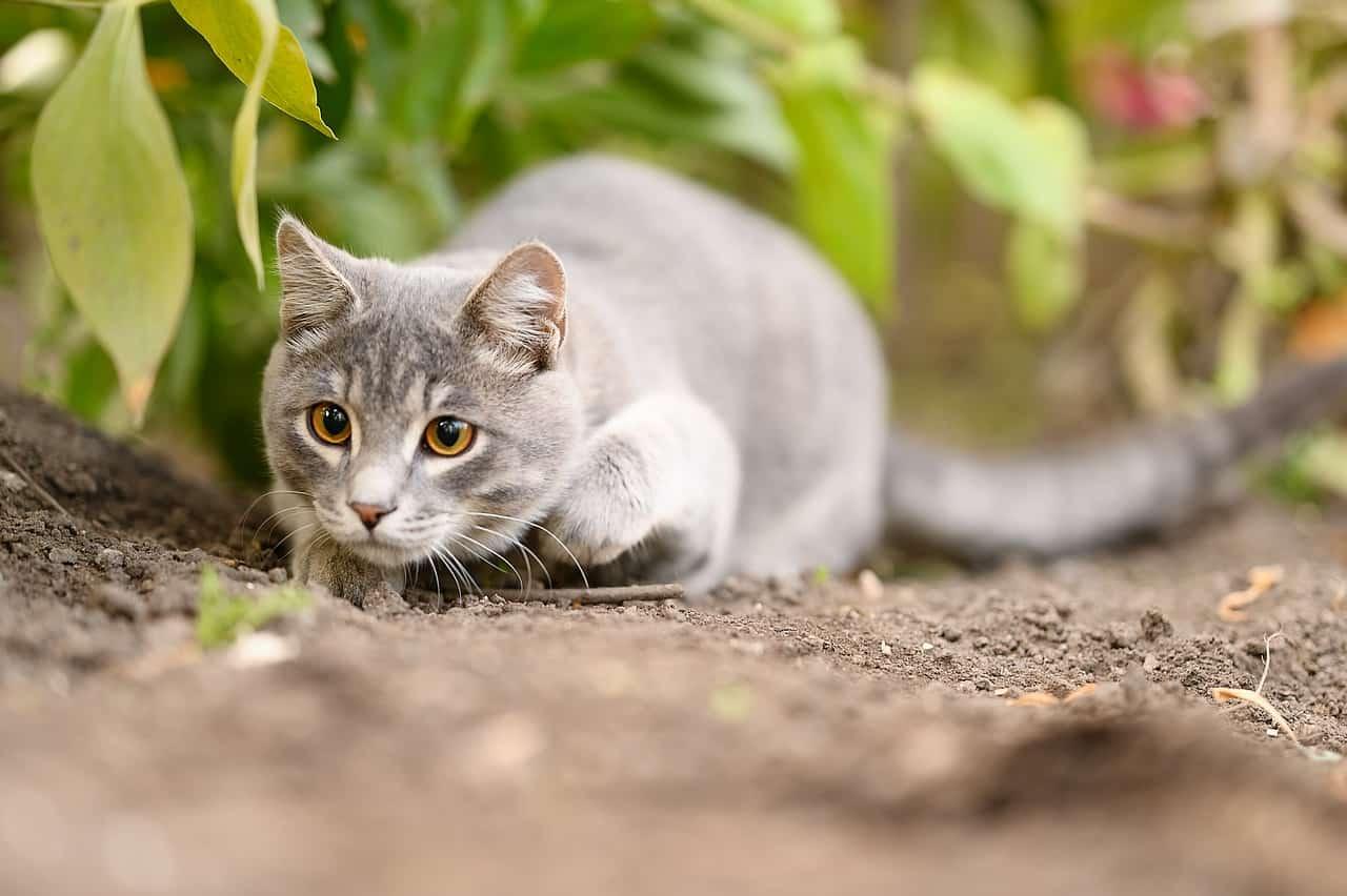 big cats and domestic cats
