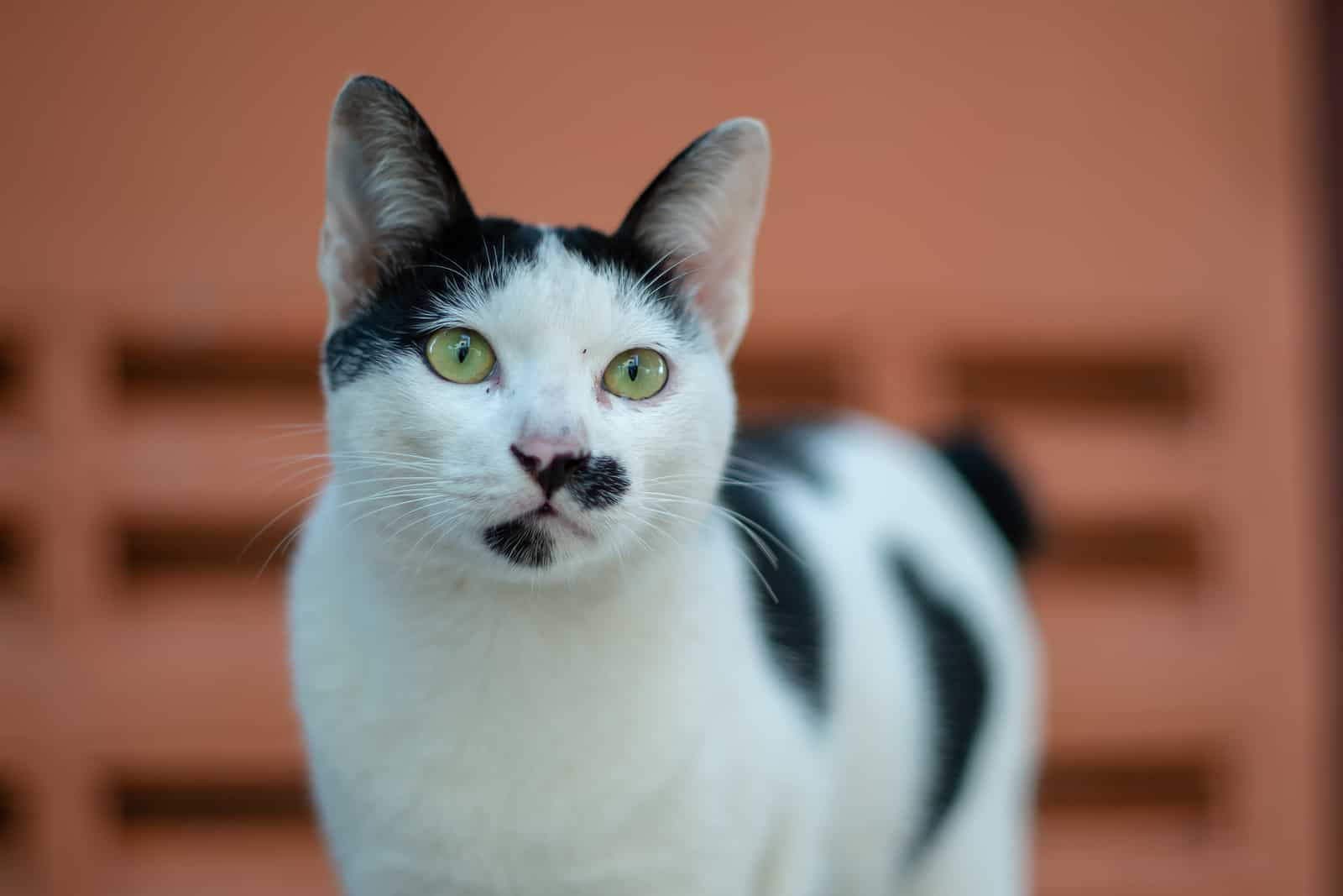 cow cat facts