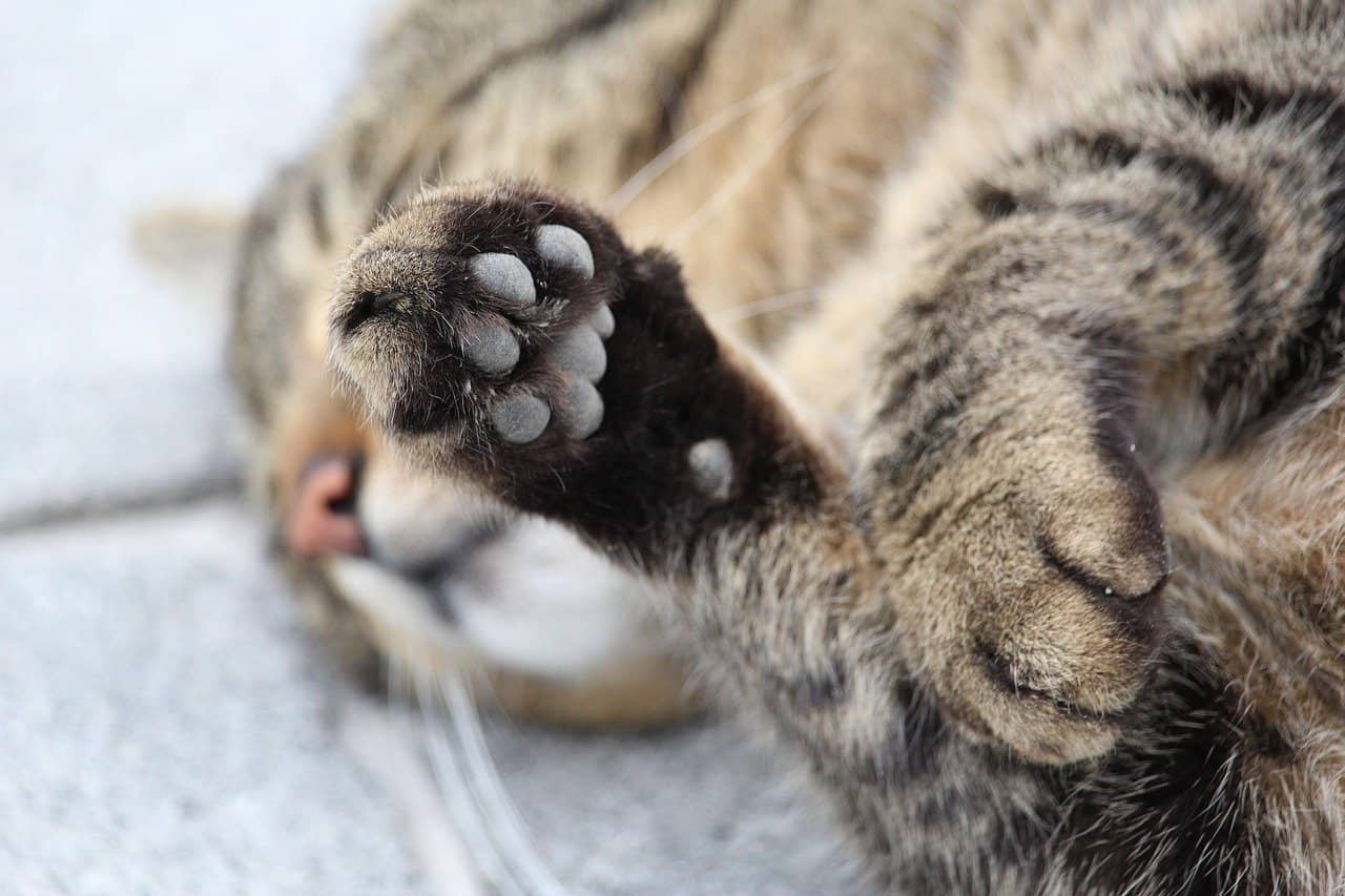 cat's paws