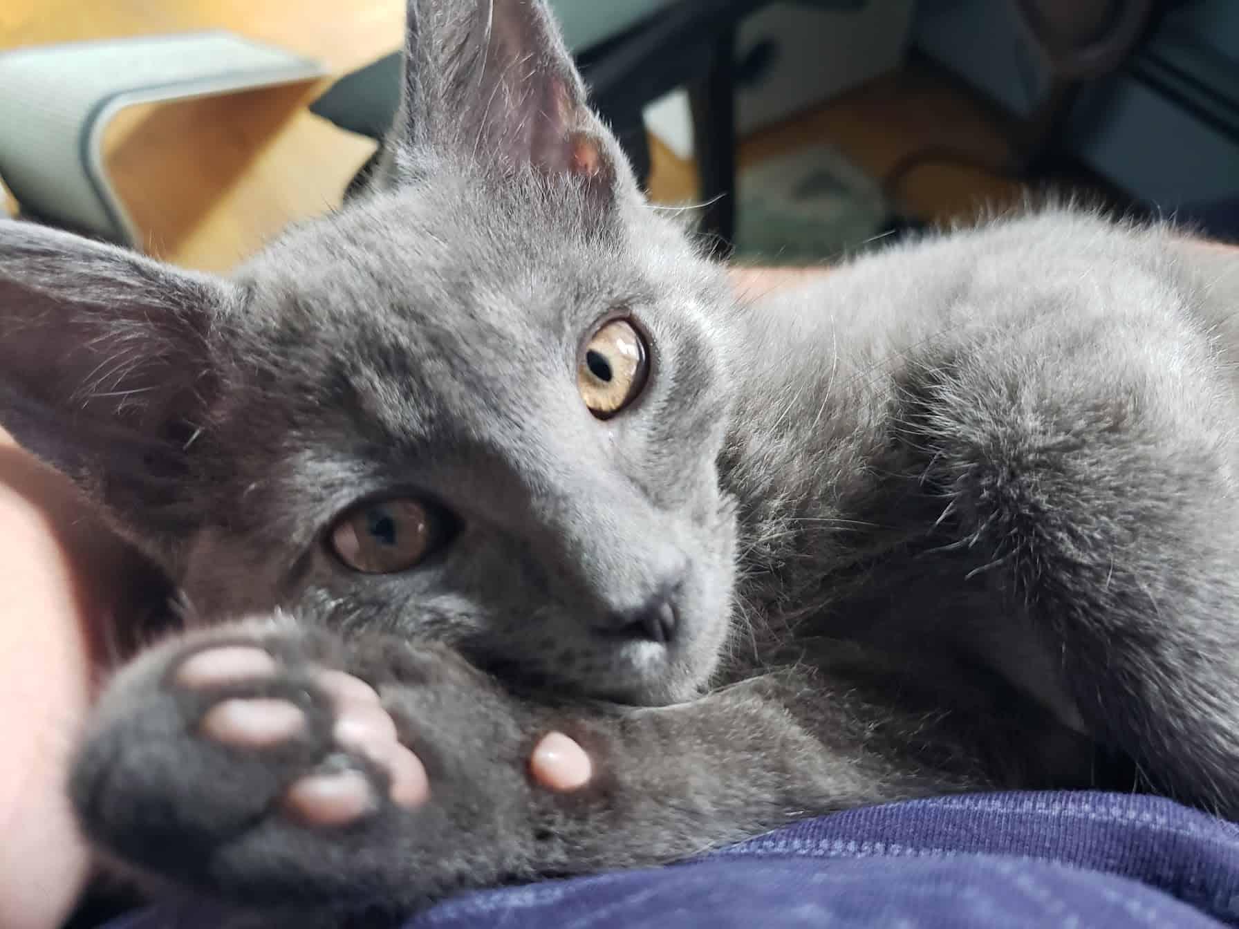 lap cat