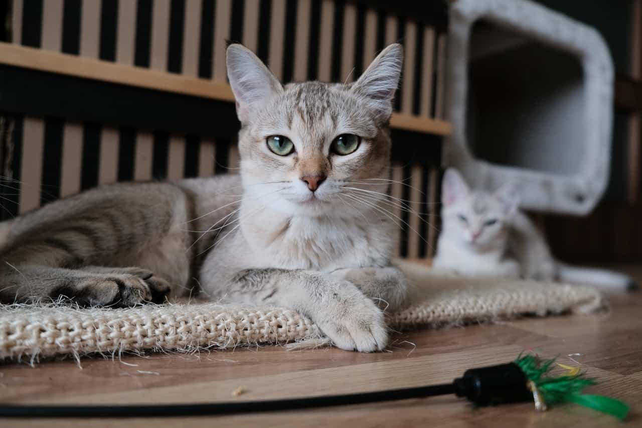 signs of dehydration in cats