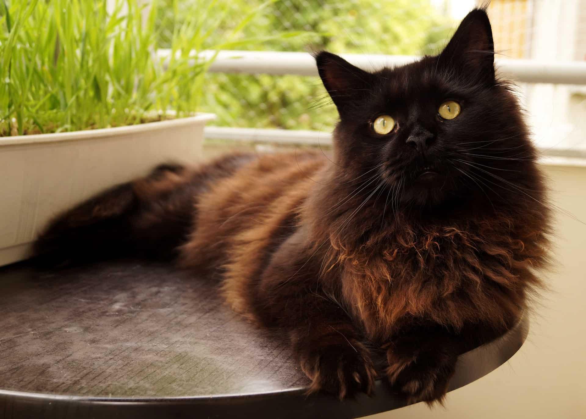 biggest cat breeds