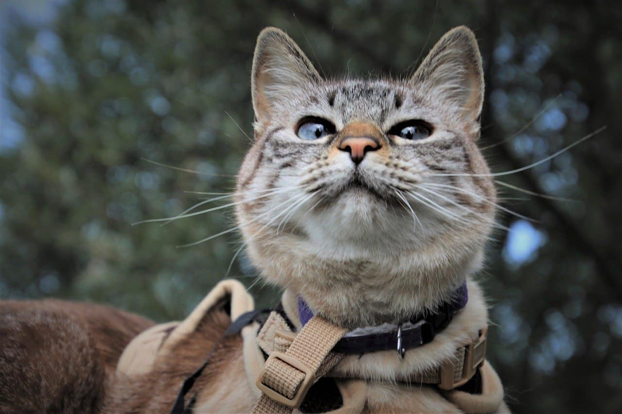 tips to leash train your cat