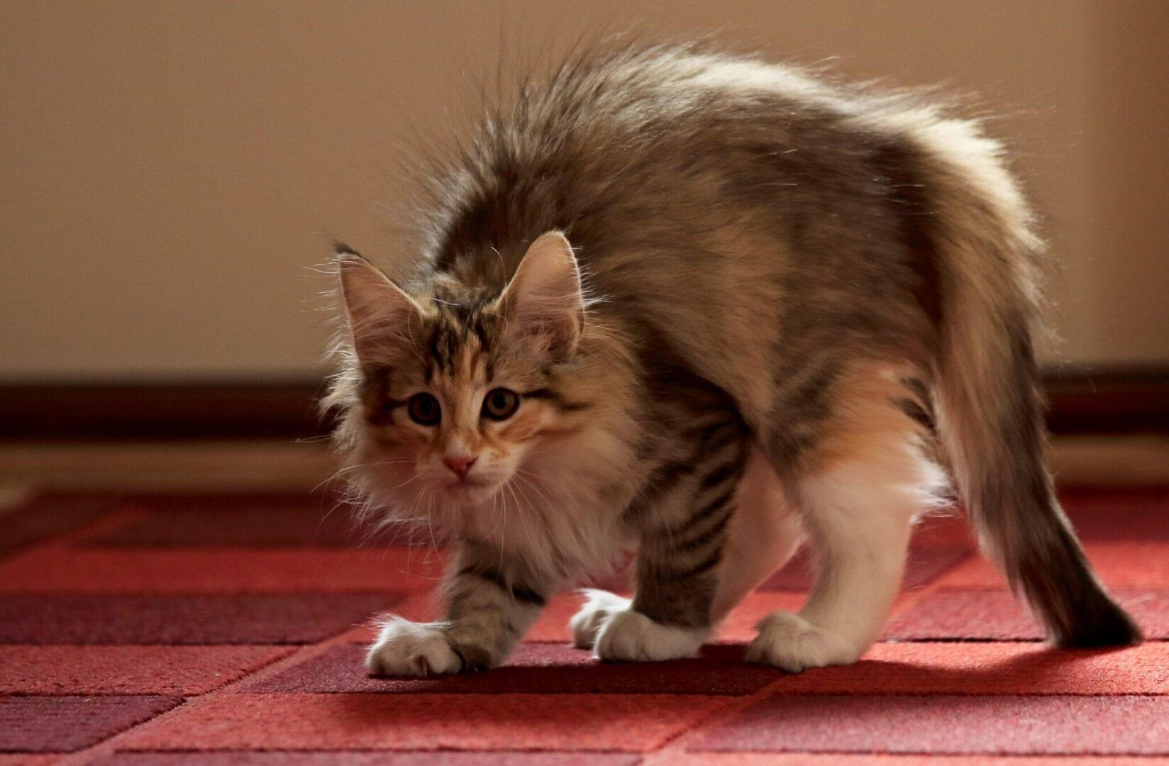 why do cats sideways jump