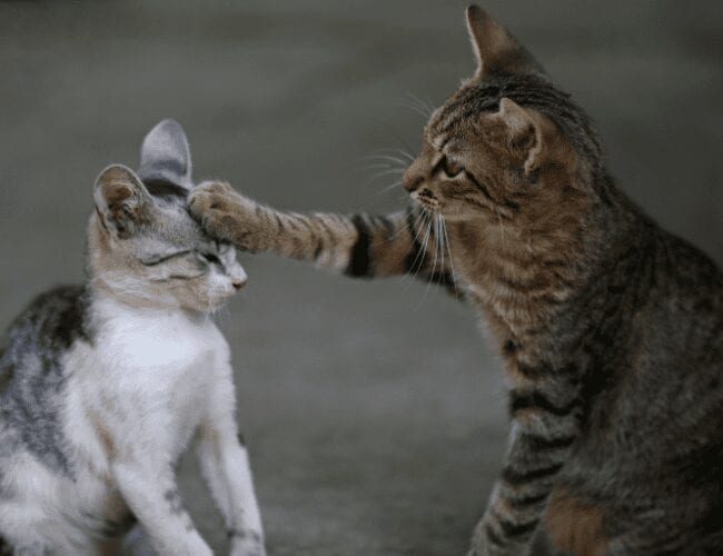 why don't cats meow at each other