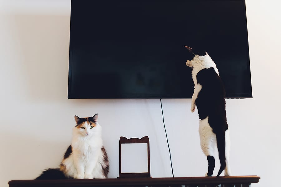 cats understand television
