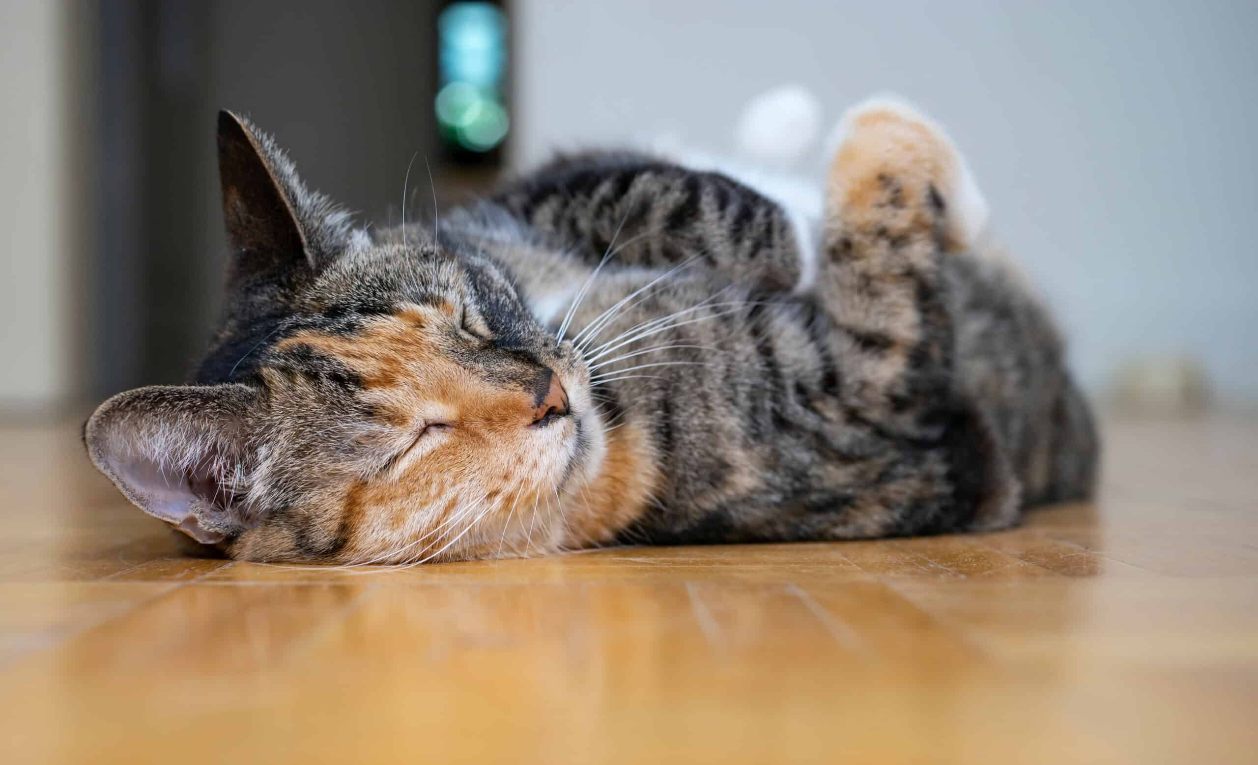 what is a torbie cat?