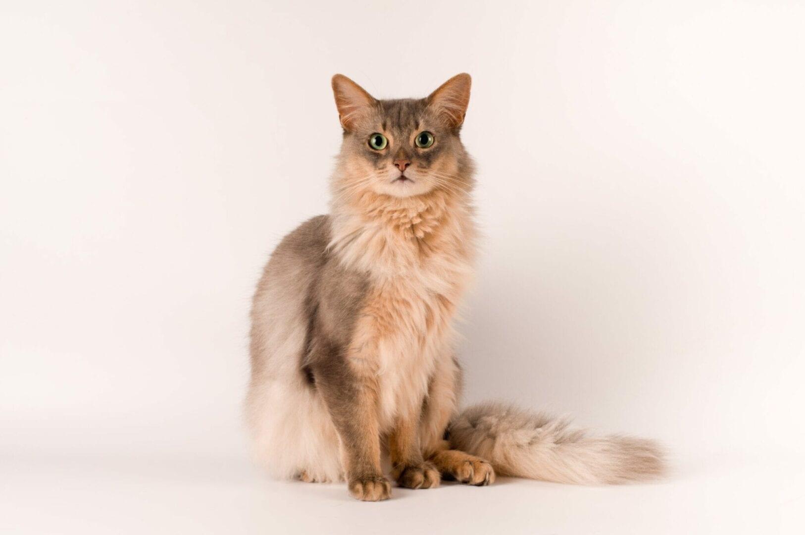 blue somali cat