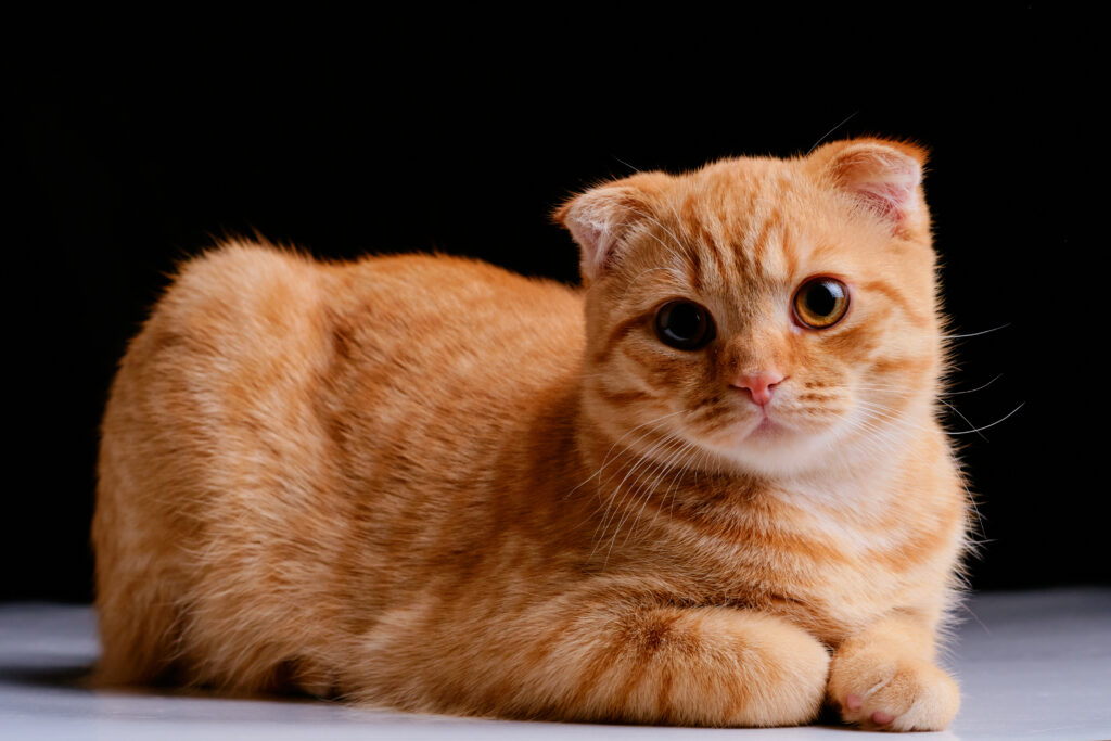scottish fold cat facts