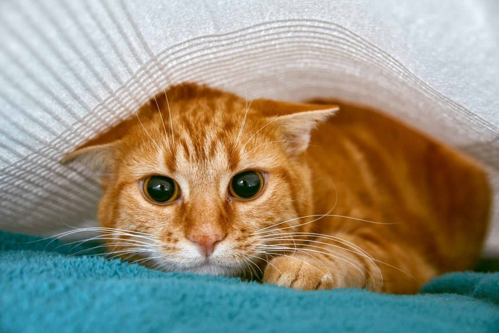 fear aggression in cats