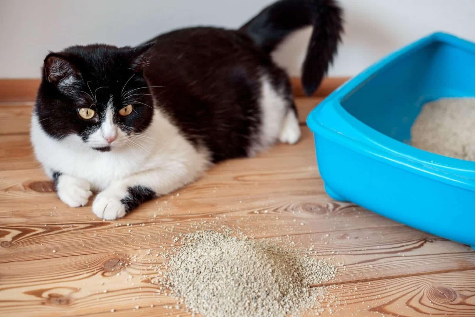 eating kitty litter