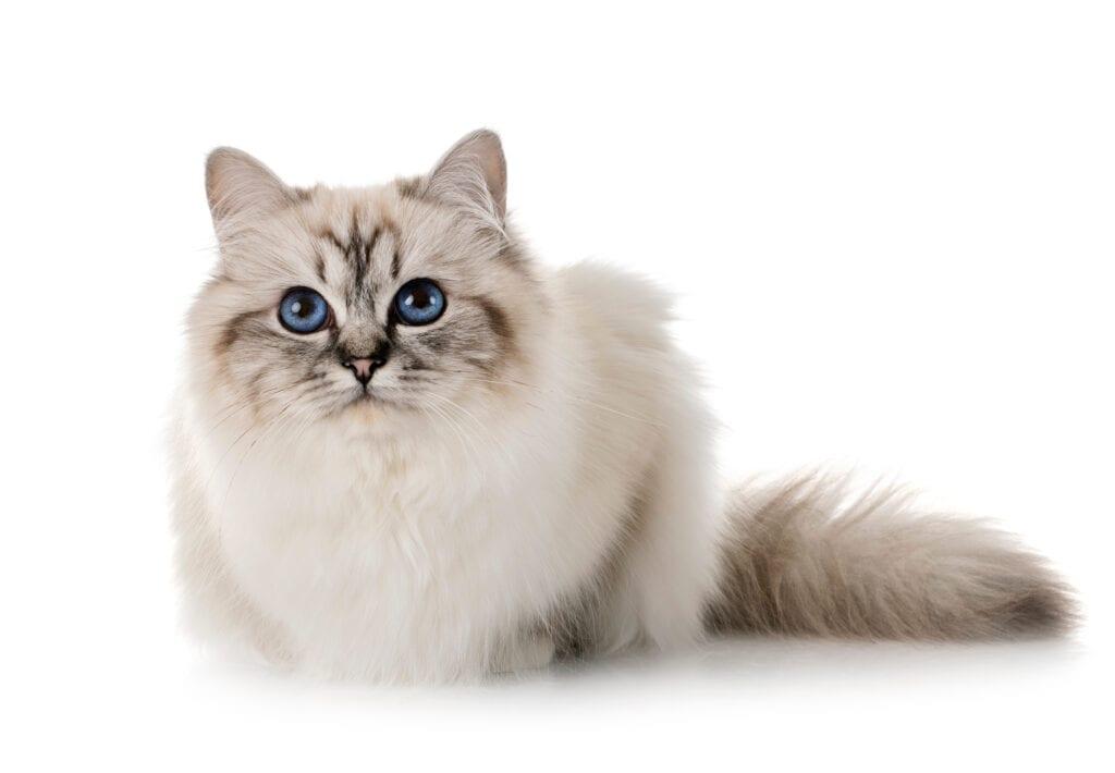 Birman cat breed