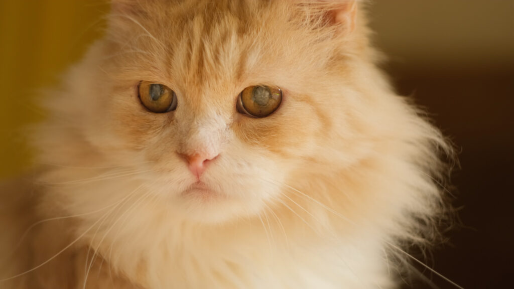 common eye issues in cats