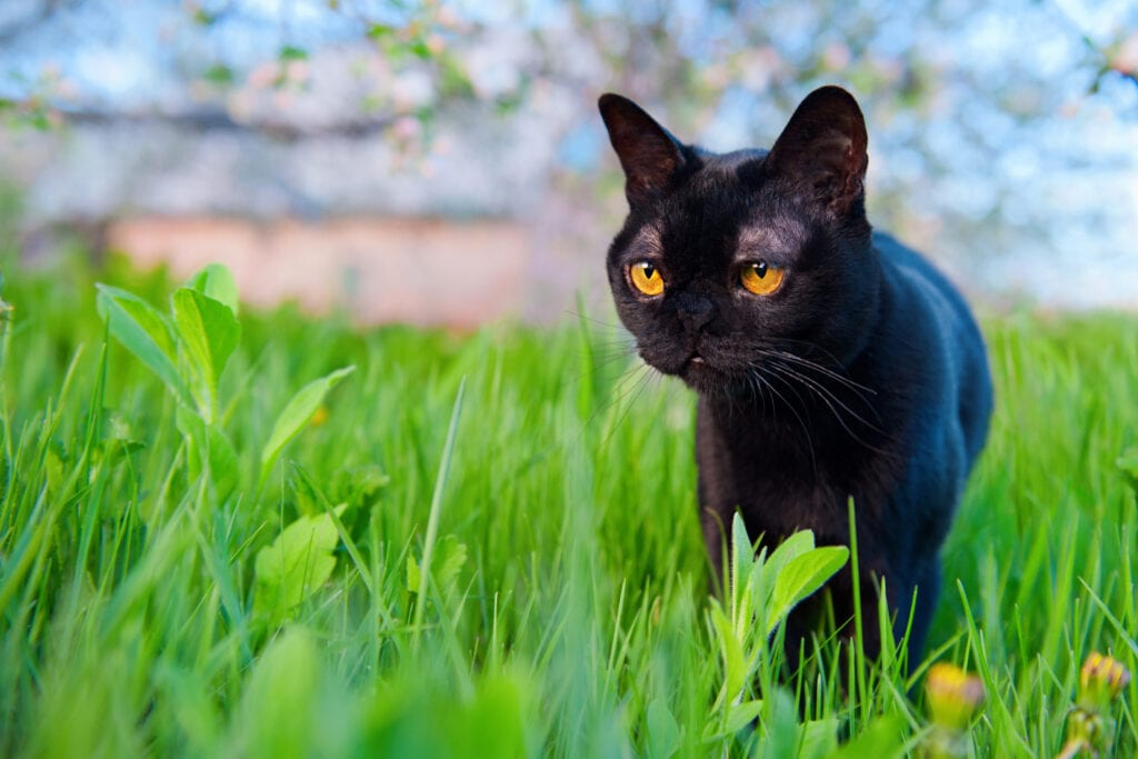 Bombay cat breed