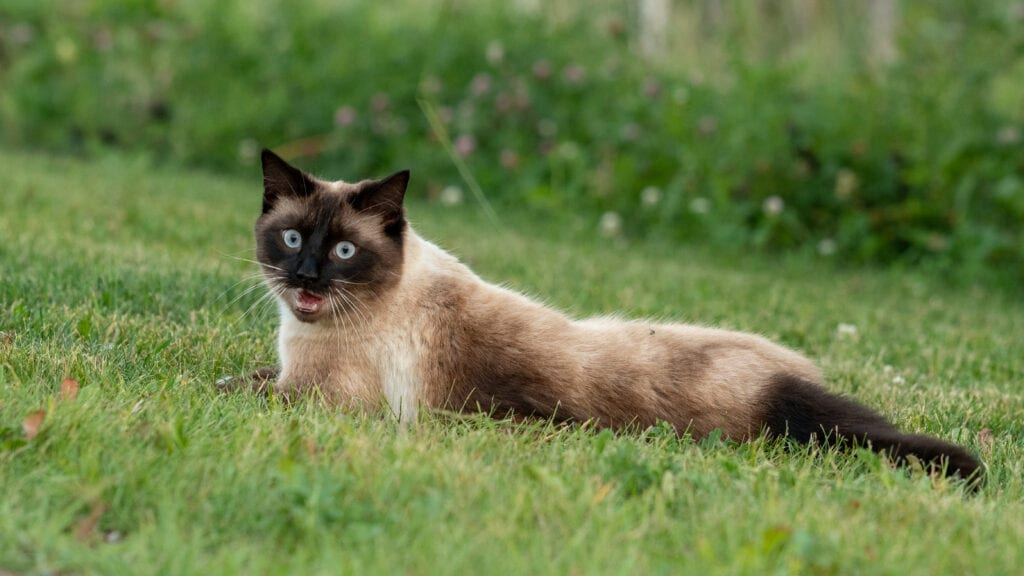 why are Siamese cats so vocal?