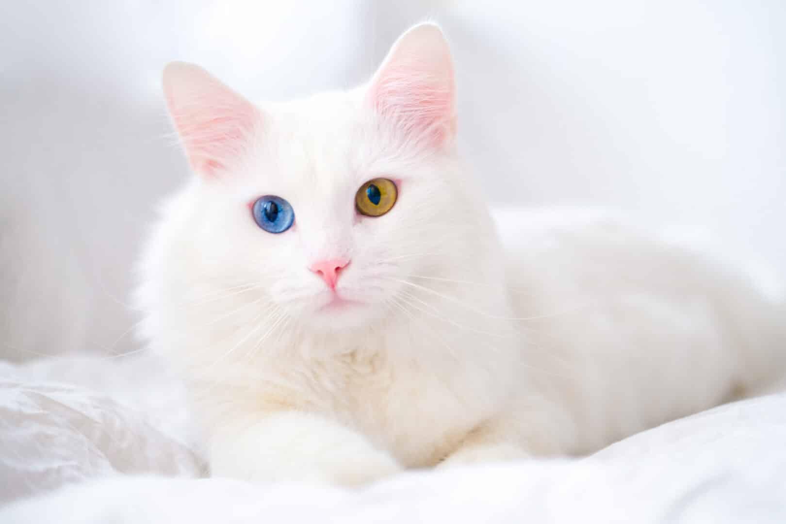 Turkish Angora cat facts