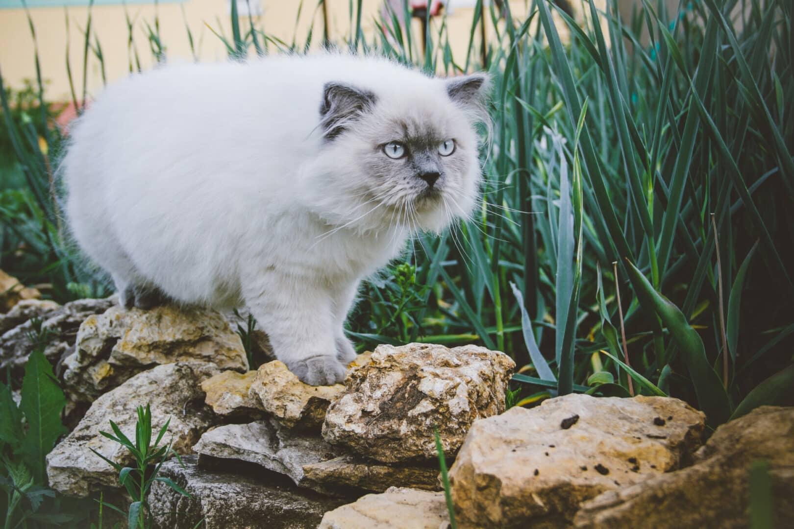 himalayan cat breed