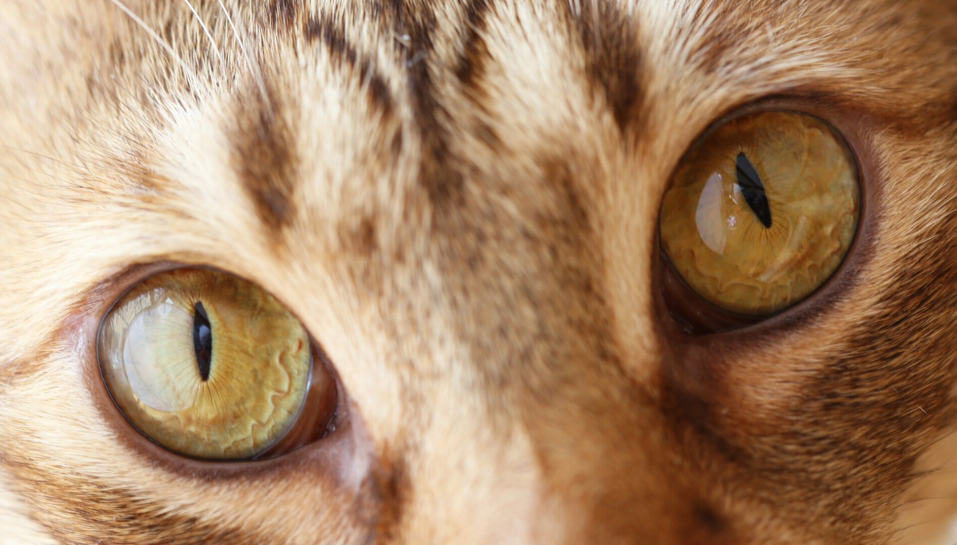 what is the rarest eye color in cats?