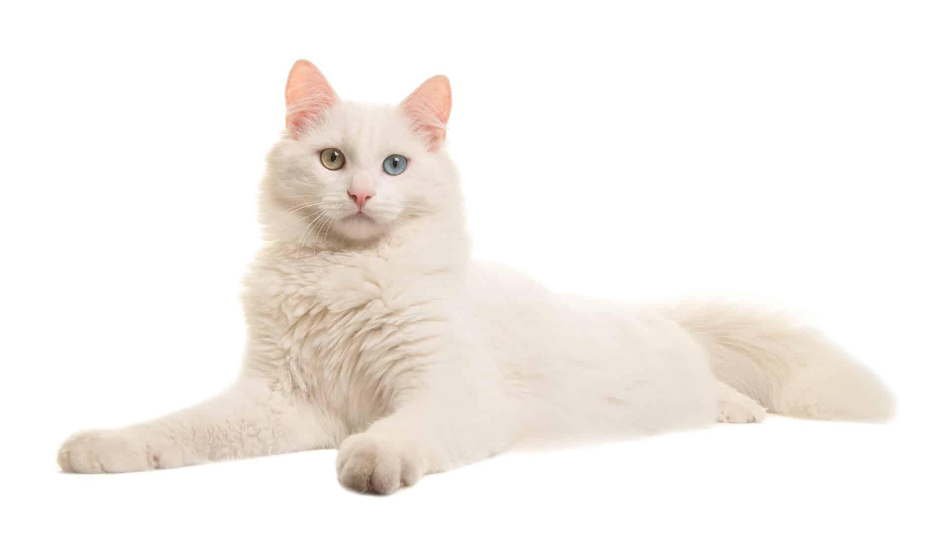 Turkish Angora cat breed facts