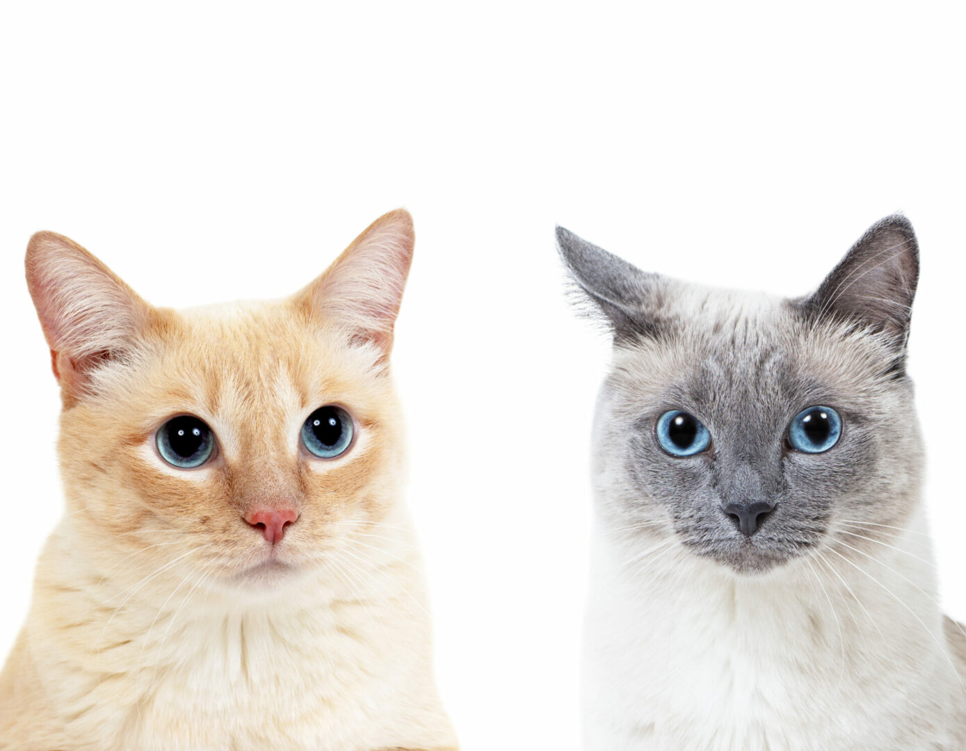 color point cats