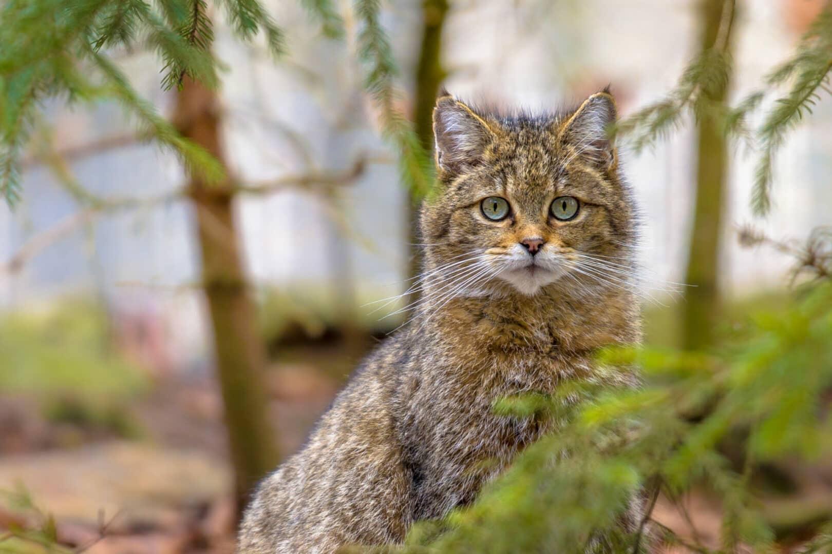 cute Scottish wildcat