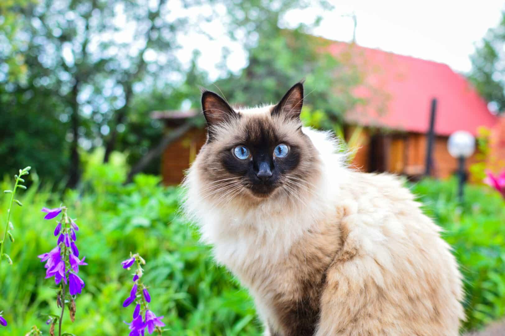 balinese cat breed