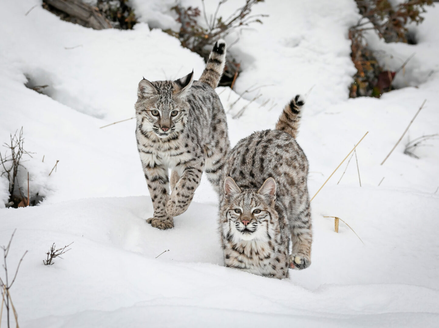 facts about bobcats