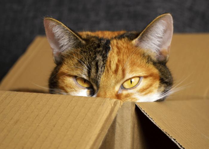 sneaky cat hiding in box
