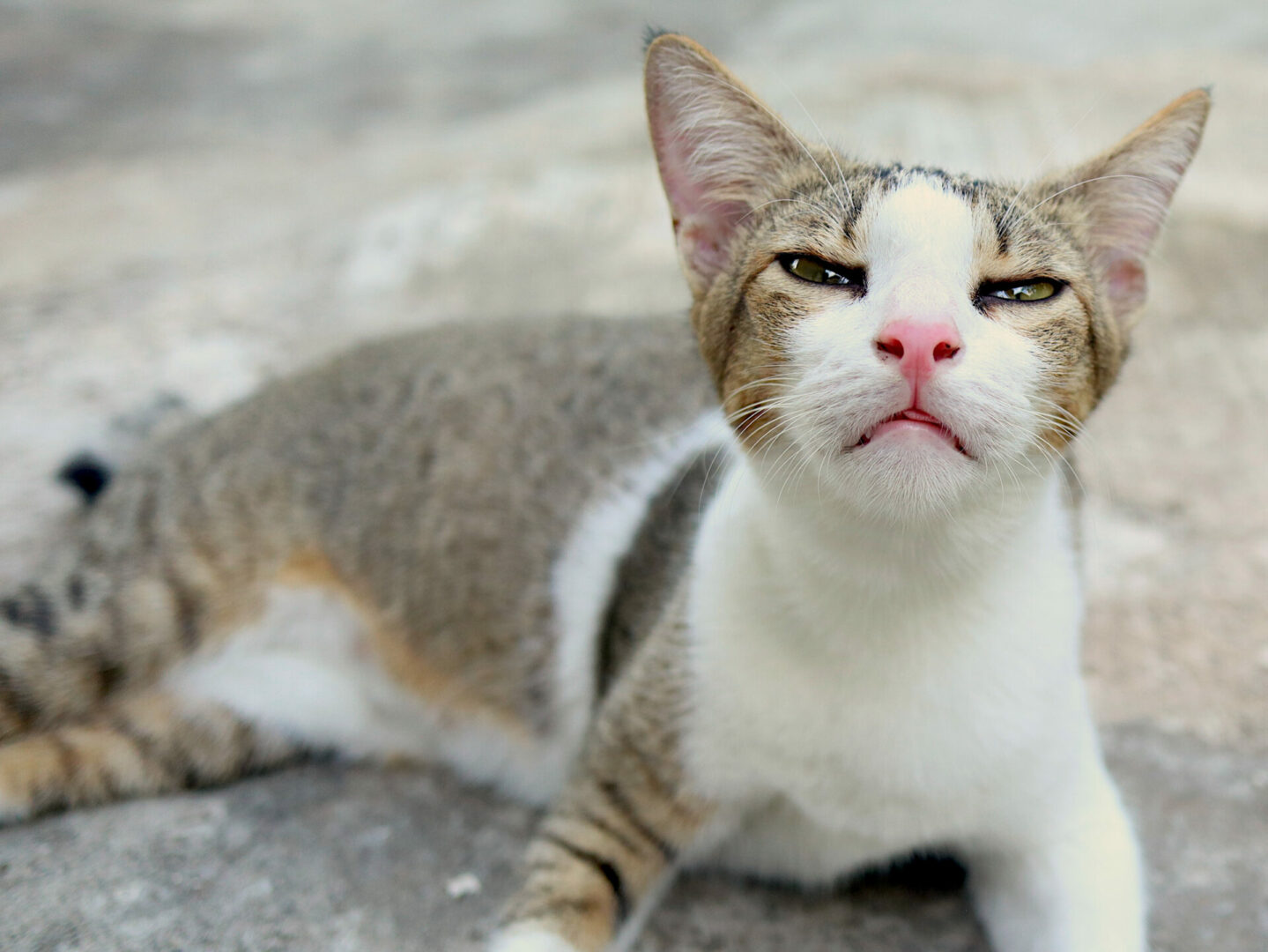 COPD in cats